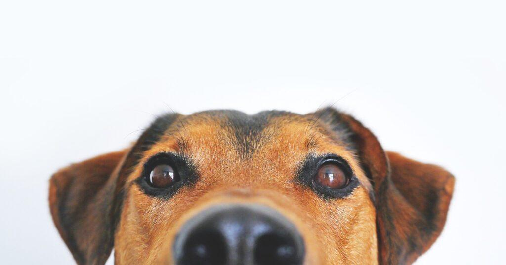 Zanahoria para perros