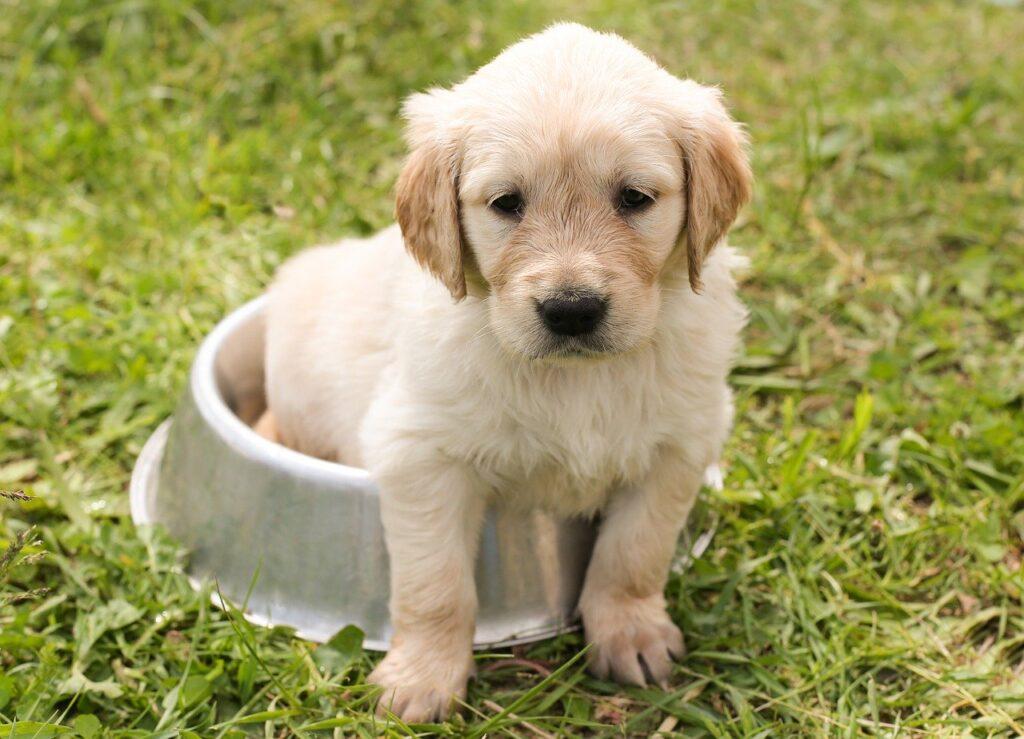 Golden retriever en adopción
