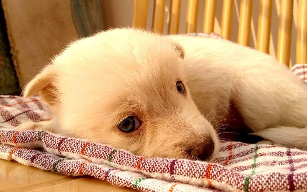 Cachorro con diarrea