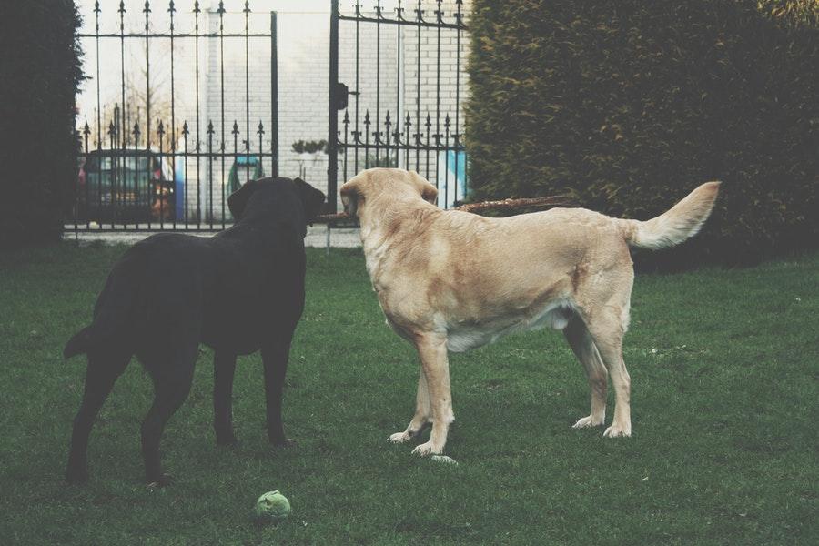 Perro golden negro